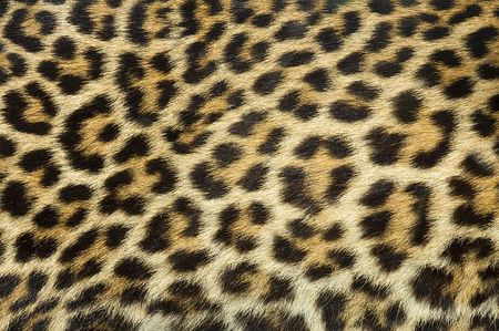 Leopard_HD_Image-3-thumb-450x299-2440